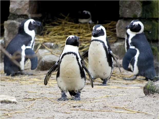Вроцлавские пингвины теперь в изоляторе