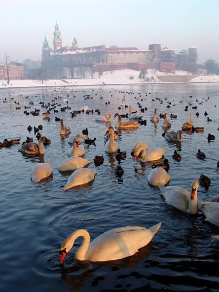 Птичий грипп во Вроцлаве :  уже  6 подтвержденных случая