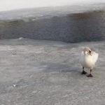 В Нижней Силезии нашли ещё  2 мёртвых лебедя с птичим гриппом