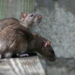 Во Вроцлаве начинается охота на крыс и мышей