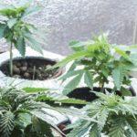 В Олаві місцевий мешканець вирощував марихуану в домашніх умовах