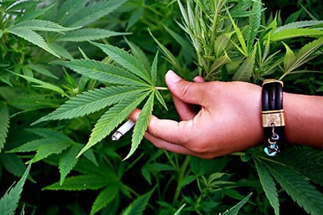 Поліцейські в Нижній Сілезії вилучили марихуану на 250 тис. злотих
