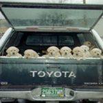 Поліція у Нижній Сілезії врятувала 8 щенят, замкнених в багажнику