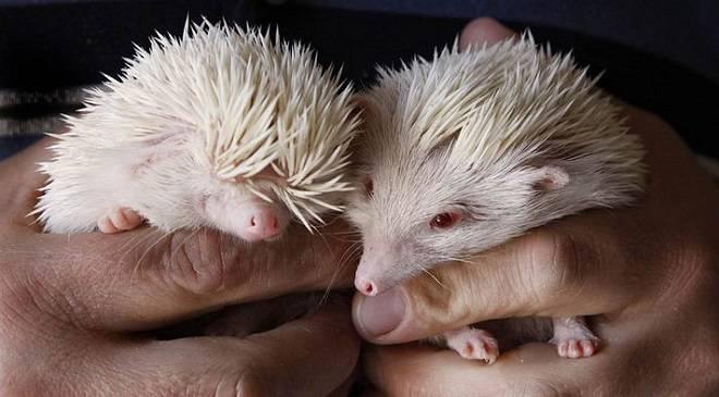 У Вроцлаві просять врятувати малих їжаків-сиріт