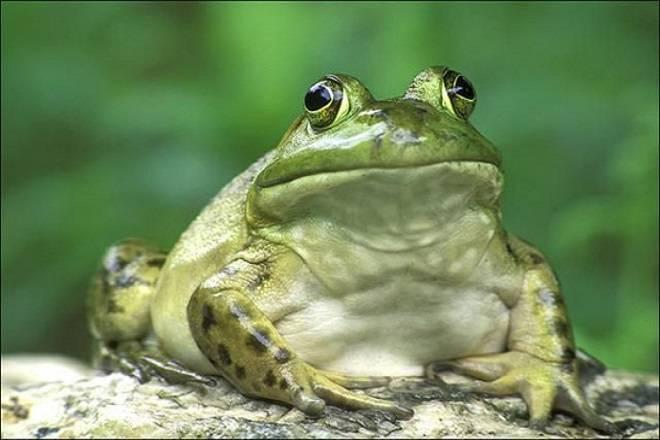 Акція в Нижній Сілезії: врятуй життя — перенеси жабу через дорогу