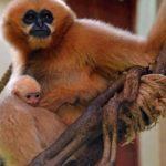 У Вроцлавському зоопарку народився рідкісний гібон