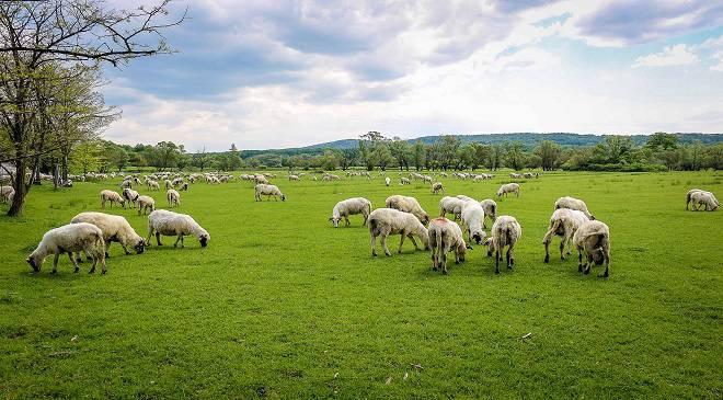 Вівці — альтернатива мотокосам — так вирішили працівники Карконошського парку