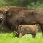 У Вроцлавському зоопарку – День зубра