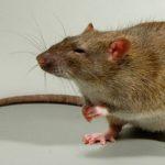 Вроцлав атакують щурі