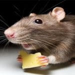 У Свідниці проведуть масове труєння щурів