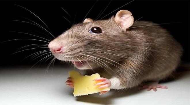 """Результат пошуку зображень за запитом """"труєння щурів"""""""