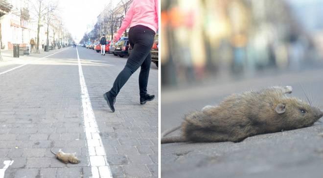 На вроцлавському Ринку валяються щурячі трупи (+ФОТО, ВІДЕО)