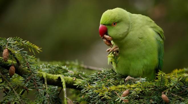Інвазія зелених папуг у Вроцлаві та інших містах Польщі