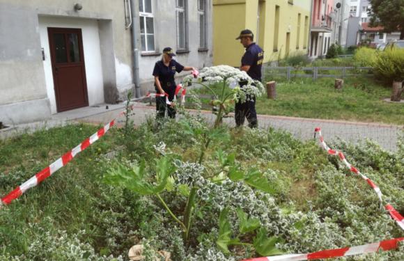 В центре Вроцлава обнаружили ядовитое растение – «месть Сталина»
