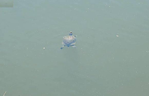 Вроцлав: у воді на Надодже поселились черепахи