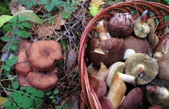 Врожайний вікенд: де знайти найкращі грибні місця в Нижній Сілезії [СПИСОК]