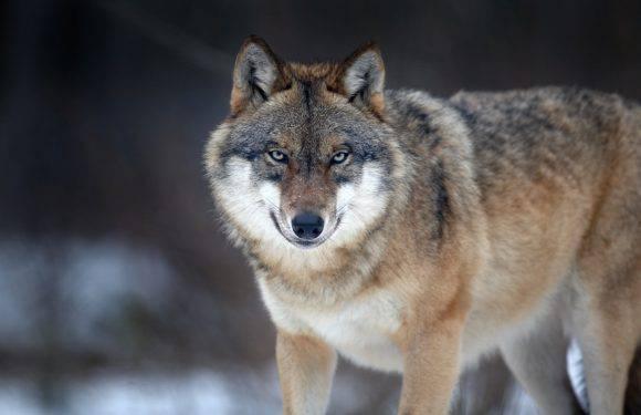 У Нижній Сілезії з'явилися вовки?