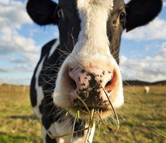 У Нижній Сілезії виявили «скажених» корів