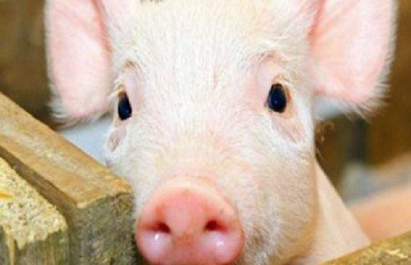 Свинячий грип атакує: в Нижній Сілезії від нього вже померла жінка