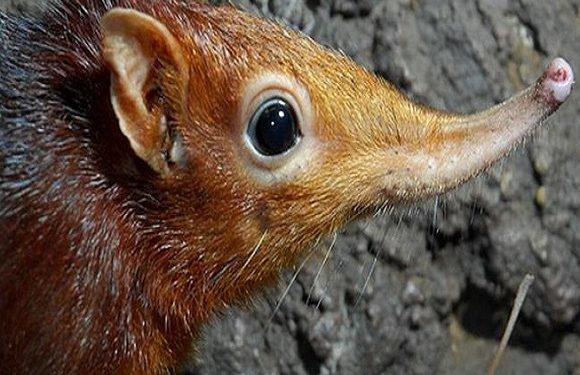 Вроцлавський африкаріум має нового жителя: землерийку