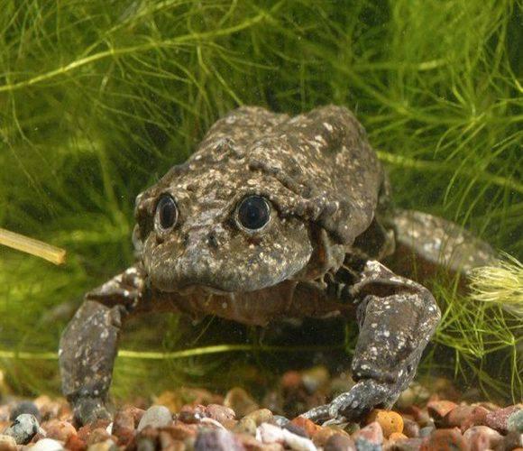 У Вроцлавському зоопарку можна буде побачити найбільших у світі жаб