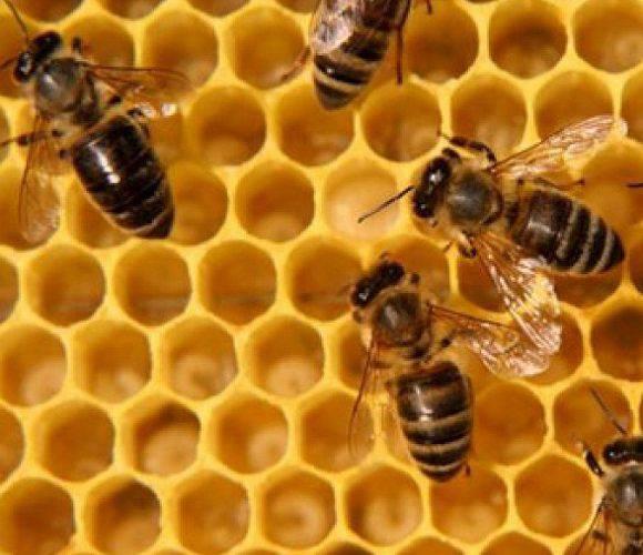 Нижня Сілезія отримає мільйон злотих на порятунок бджіл