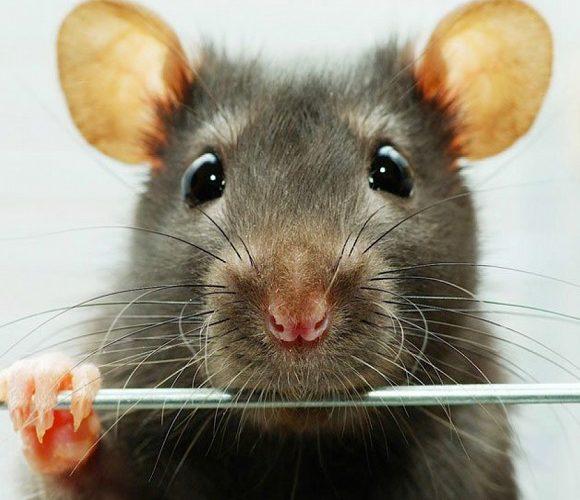 В одному з вроцлавських помешкань знайшли… понад тисячу мишей (+ФОТО)