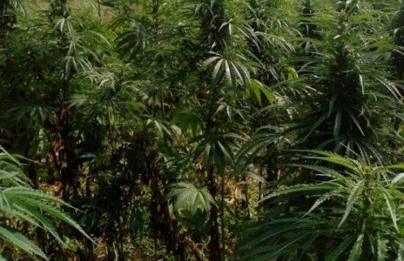 На терені ґміни Уленж знайшли велику плантацію канабісу
