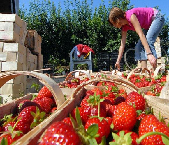 В Польщі затримали 9-ро українців, які збирали полуницю