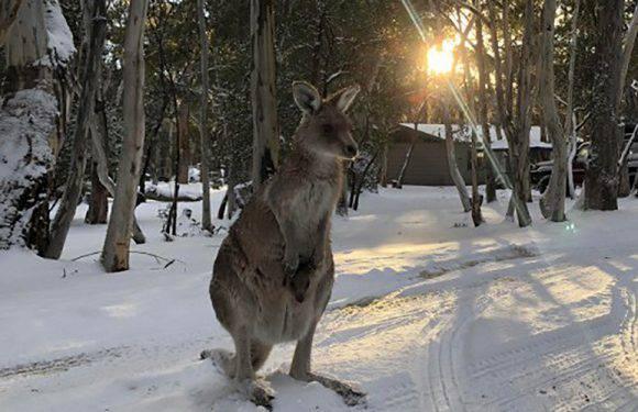 В Австралії випав сніг: кенгуру стрибають по заметах [+БАГАТО ВІДЕО]