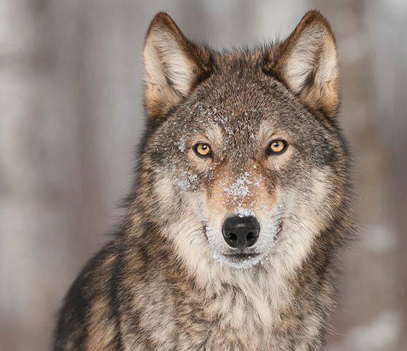 До Нижньої Сілезії повернулися вовки