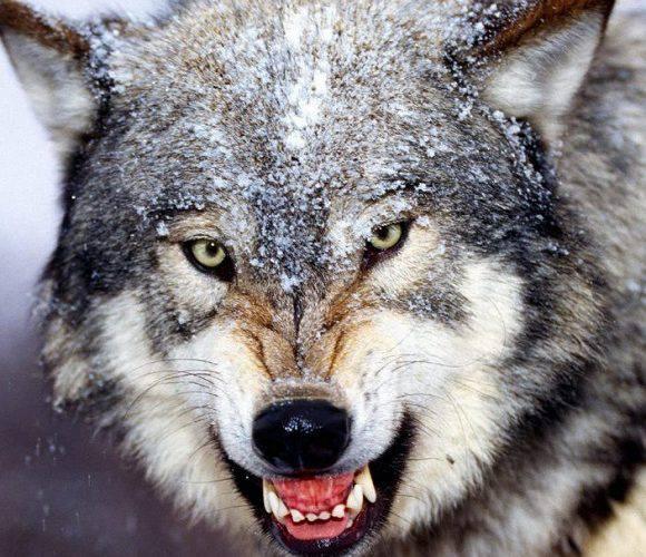 В Нижній Сілезії вовки розгулюють по дорозі [+ВІДЕО]