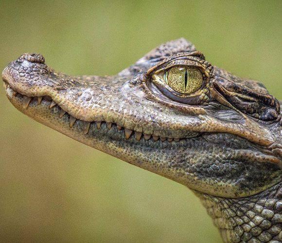 У Легниці з'явився крокодил? Пошуки тривають