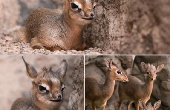Допоможи вибрати ім'я для новонародженої антилопи у Вроцлавському зоопарку