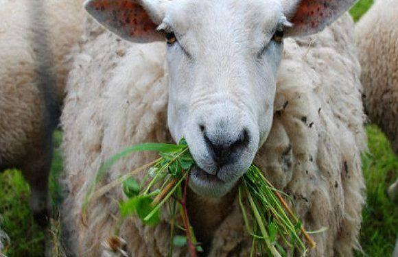 В Карконоському парку використовують овець замість газонокосарок