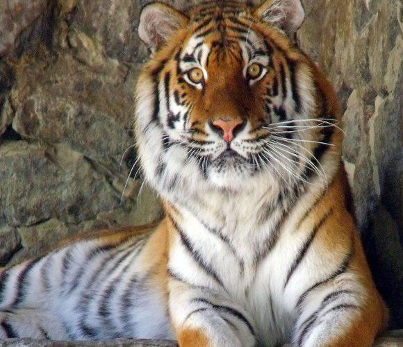 Співробітники двох польських зоопарків врятували від неминучої смерті «російських циркових» тигрів