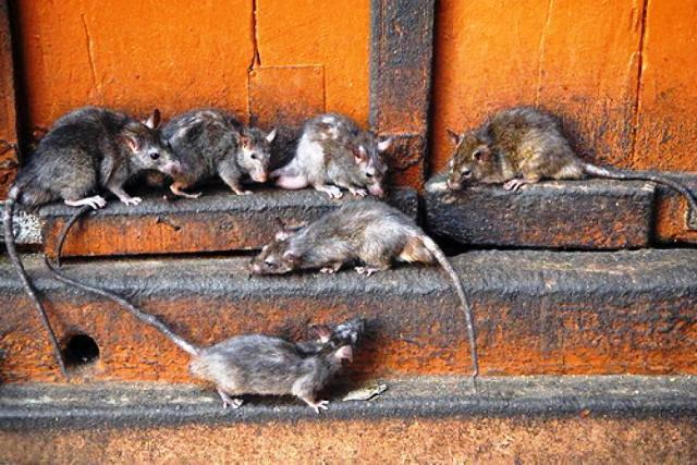 Навала щурів у Надодже. Люди обурені