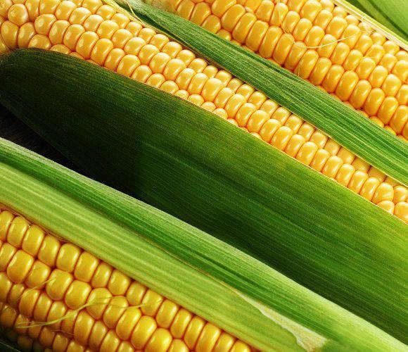 Міністр Польщі застерігає від закупівлі української кукурудзи