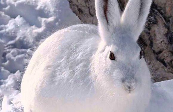 Хочеш дива? Приходь до Вроцлавського зоопарку помилуватись білими зайцями