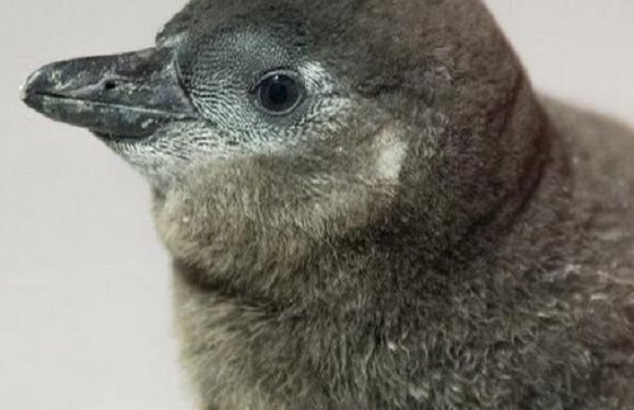 У Вроцлавському зоопарку народився рідкісний африканський пінгвін [+ФОТО]