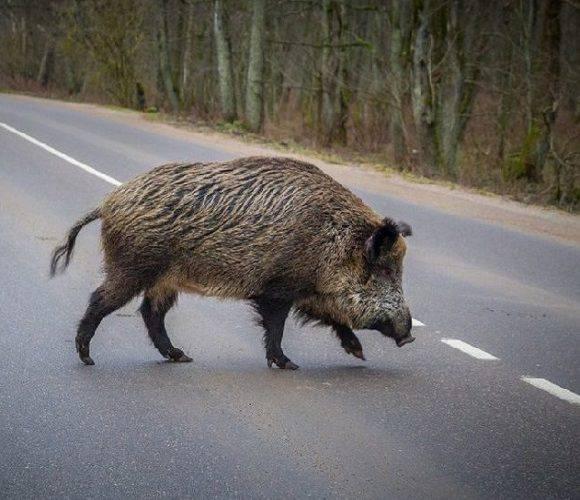 В Польщі загинула молода водійка, яка намагалася не збити дикого кабана на дорозі