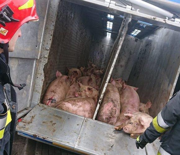 Нетипова аварія: на польській трасі перевернулась вантажівка, а на дорозі опинилось 160 свиней
