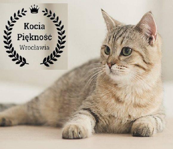 Візьми участь в котячому конкурсі краси у Вроцлаві: зареєструй свого улюбленця