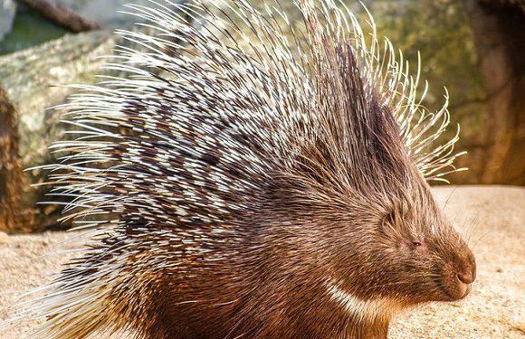 Життя триває: чотири милі дикобрази народилися у Вроцлавському зоопарку [+ФОТО]