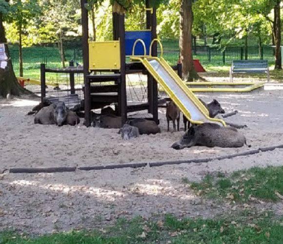 На дитячий майданчик в Кракові прийшли «погратися»… дикі кабани