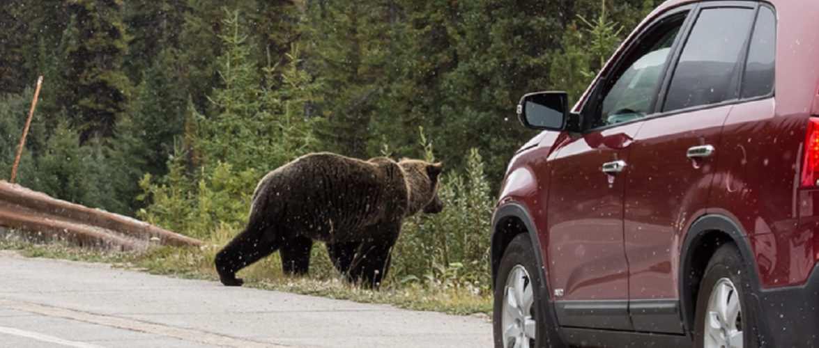 Українці розбили 3 дорогих авто через… ведмедя, який у Мазовії не зустрічається