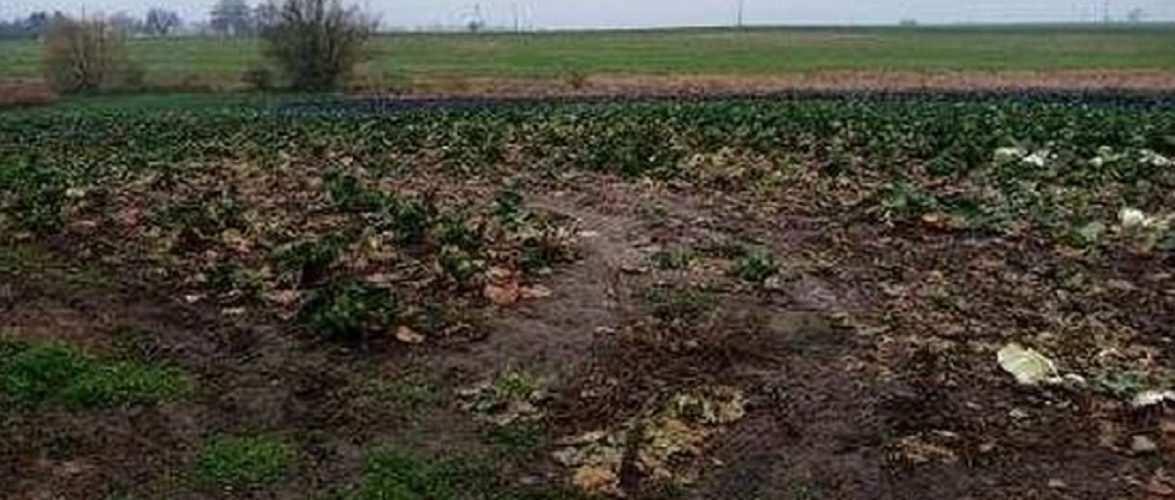 У Польщі пенсіонери вкрали капусту на 3 тисячі злотих