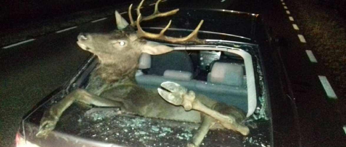 У Польщі олень застрибнув до багажнику