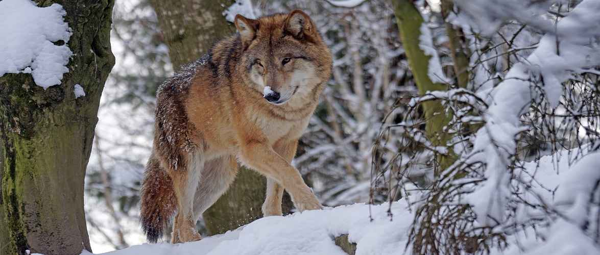 В околицях м. Познань в Польщі з'явилися вовки, будьте обережні! [+ФОТО]