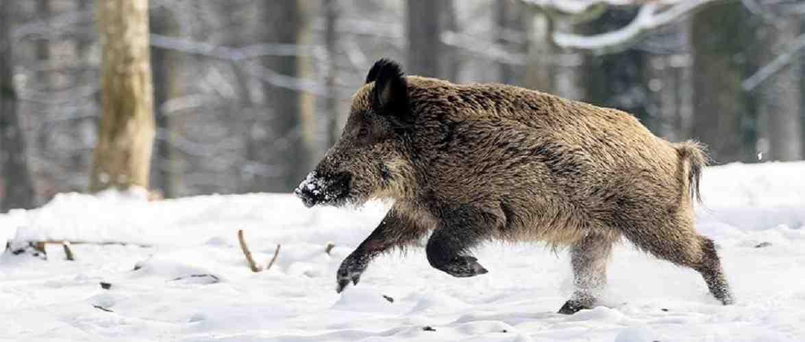 У Вроцлаві дикий кабан увірвався до будинку та напав на жінку